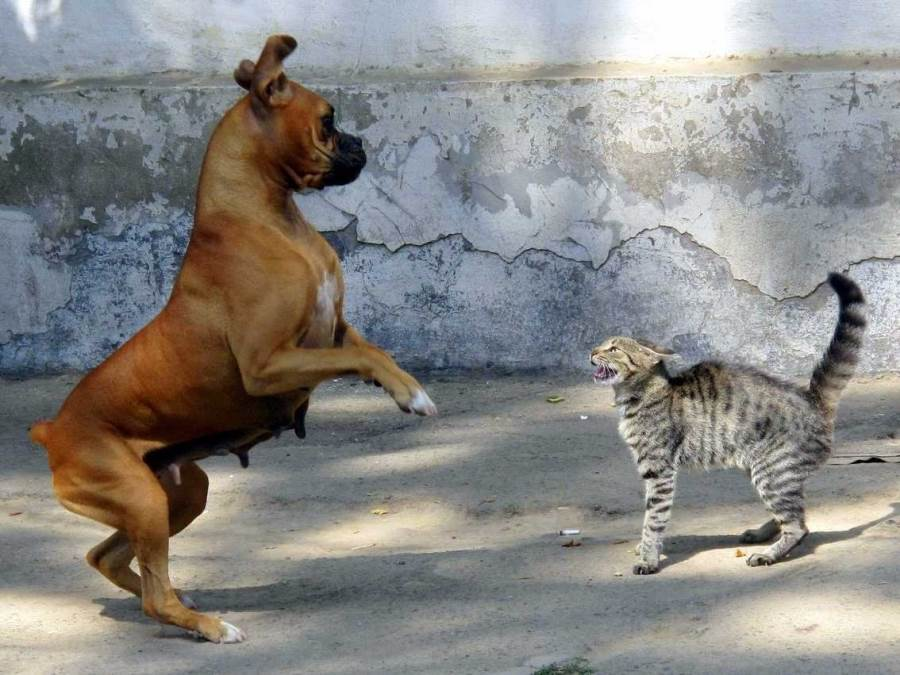 boxer-vs-cat-2